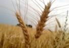 Zbiory zbóż 2011/2012